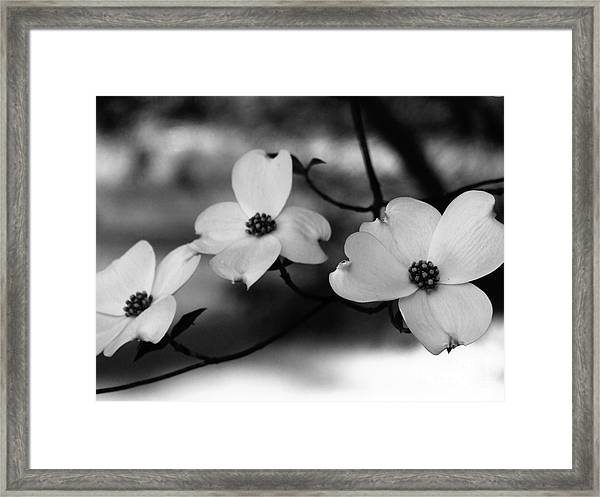 Dogwood Black And White Framed Print