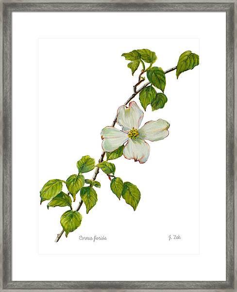 Dogwood - Cornus Florida Framed Print