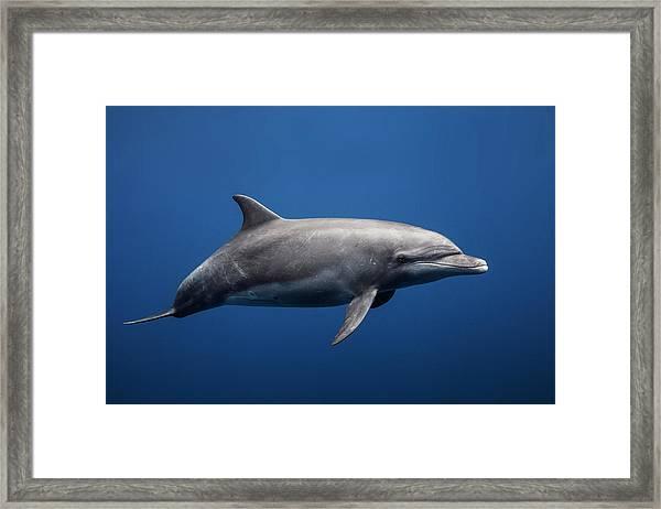Dolphin Framed Print by Barathieu Gabriel