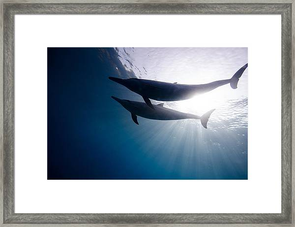 Dolphin Silhouette 01 Framed Print by One ocean One breath