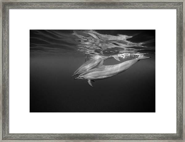 Dolphins 01 Framed Print by One ocean One breath