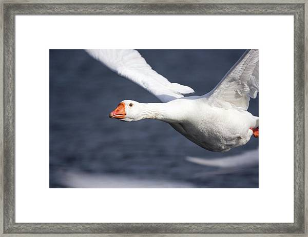 Domesticated Goose In Flight Framed Print by John Devries/science Photo Library