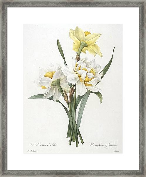 Double Daffodil Framed Print