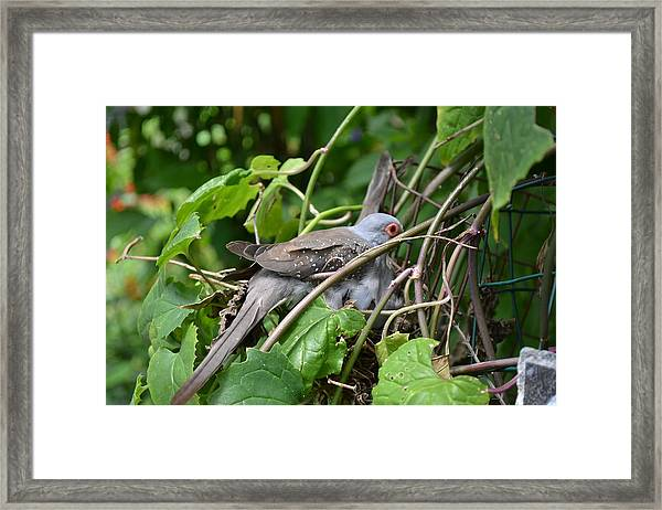 Dove Framed Print