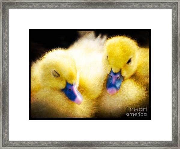 Downy Ducklings Framed Print