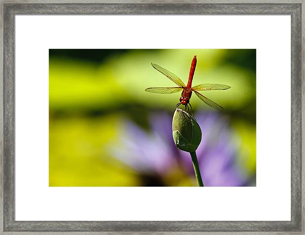 Dragonfly Display Framed Print