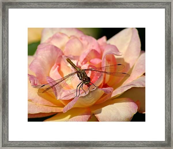 Dragonfly On A Rose Framed Print