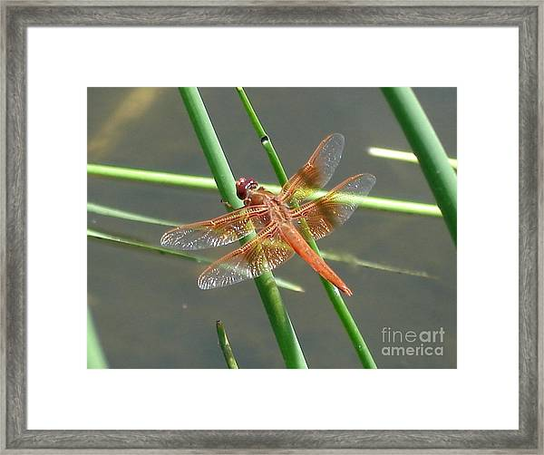 Dragonfly Orange Framed Print
