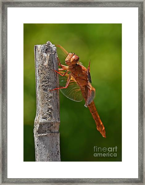 Dragonfly Resting Framed Print