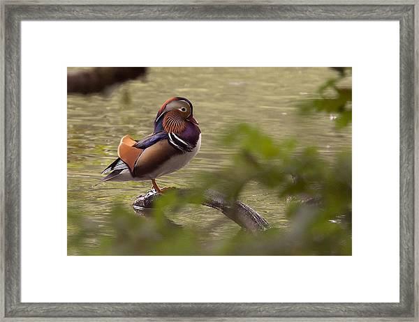 Drake Mandarin Duck Framed Print