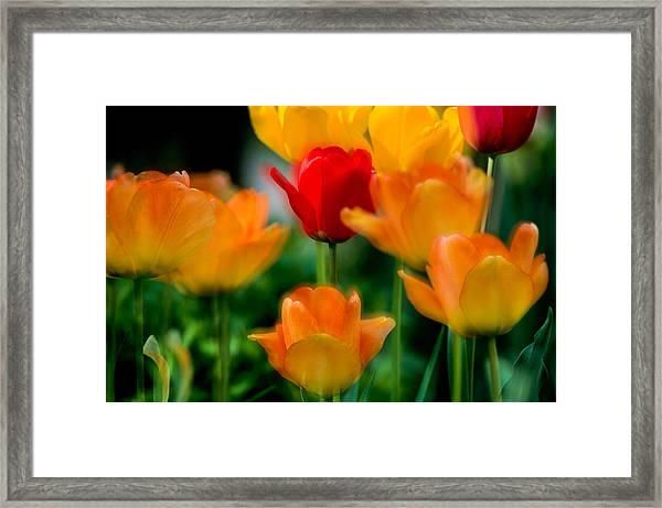 Dream Tulips Framed Print
