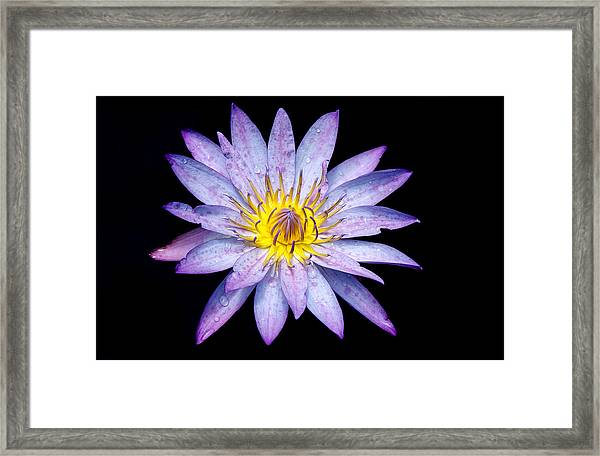 Droplets On A Water Lily. Framed Print