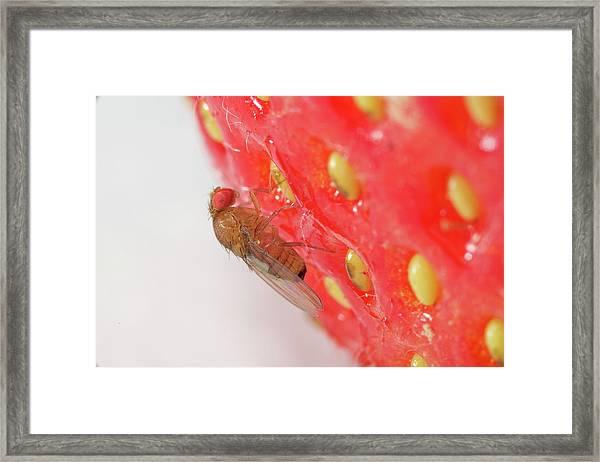Drosophila Suzukii Framed Print