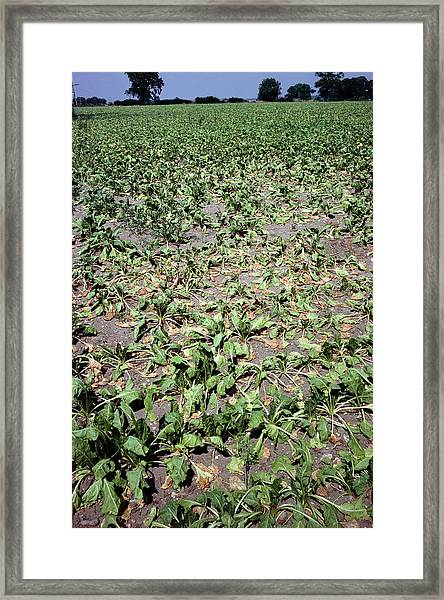 Drought Stricken Sugar Beet Framed Print by Dr Jeremy Burgess/science Photo Library