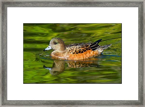 Young Female Mallard Duck Framed Print