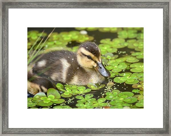Duck Soup 3 Framed Print