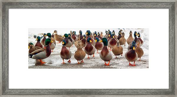 Framed Print featuring the photograph Duckorama by Bob Orsillo