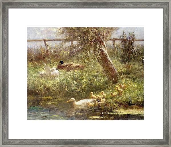Ducks And Ducklings Framed Print