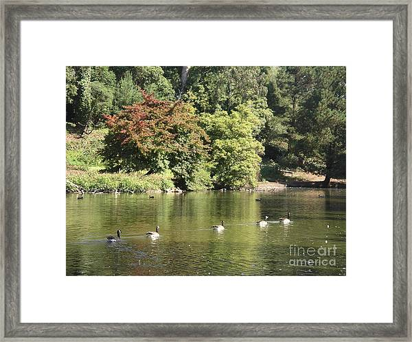 Geese In A Row Framed Print