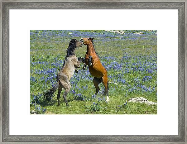 Dueling Mustangs Framed Print