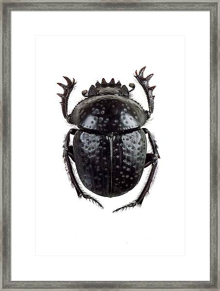 Dung Beetle Framed Print by F. Martinez Clavel