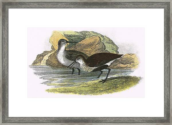 Dunlin Framed Print