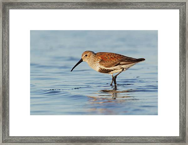 Dunlin Framed Print by Ken Archer