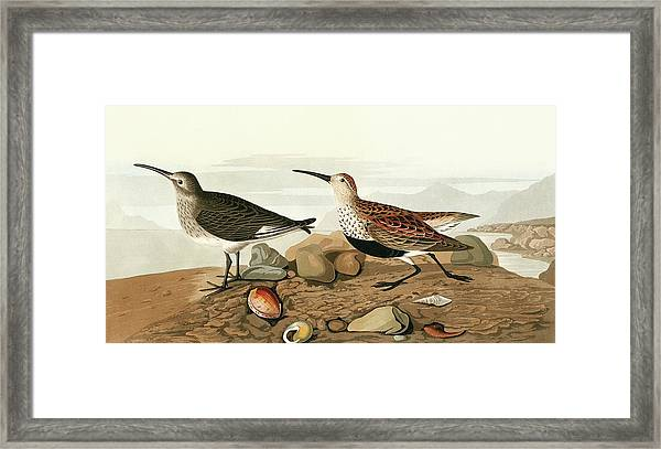 Dunlins Framed Print by Natural History Museum, London/science Photo Library