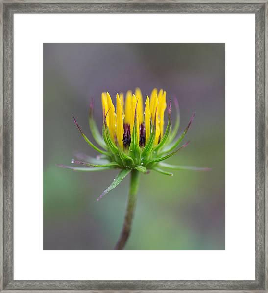 Dwarf Dandelion With Raindrops Framed Print