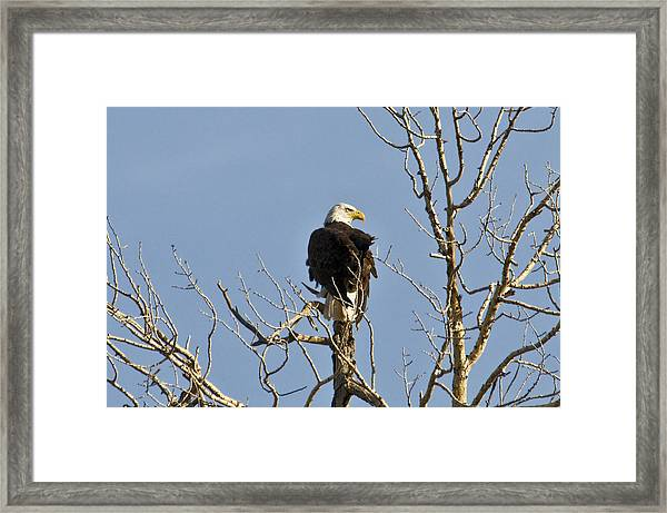 Framed Print featuring the photograph Eagle by David Armstrong