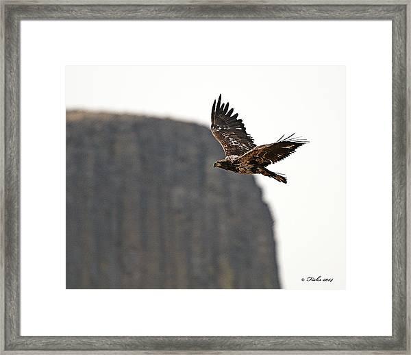 Eagle Flyby Framed Print