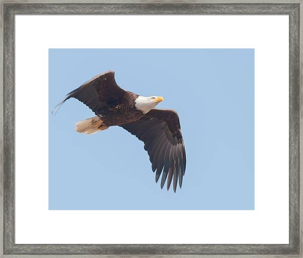 Eagle In Flight Framed Print