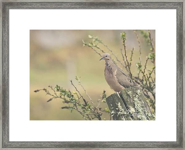 Eared Dove Framed Print