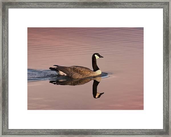 Early Morning Swim Framed Print