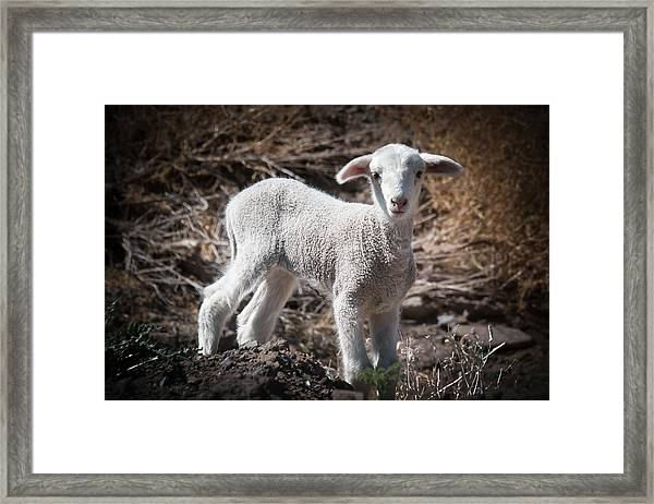 March Lamb Framed Print