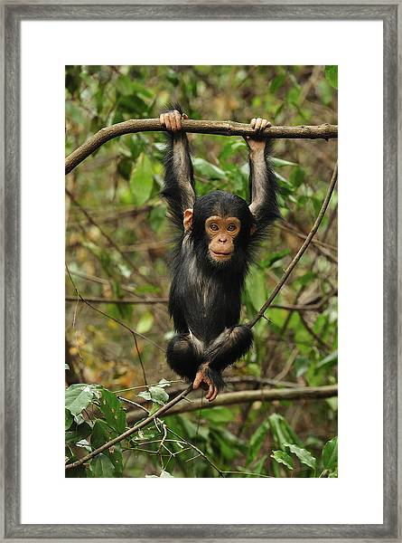 Eastern Chimpanzee Baby Hanging Framed Print