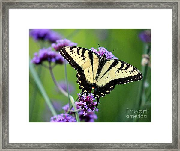 Eastern Tiger Swallowtail Butterfly 2014 Framed Print