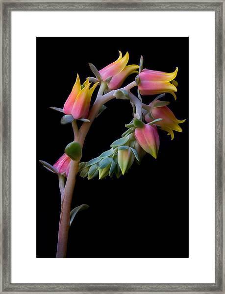 Echeveria Framed Print
