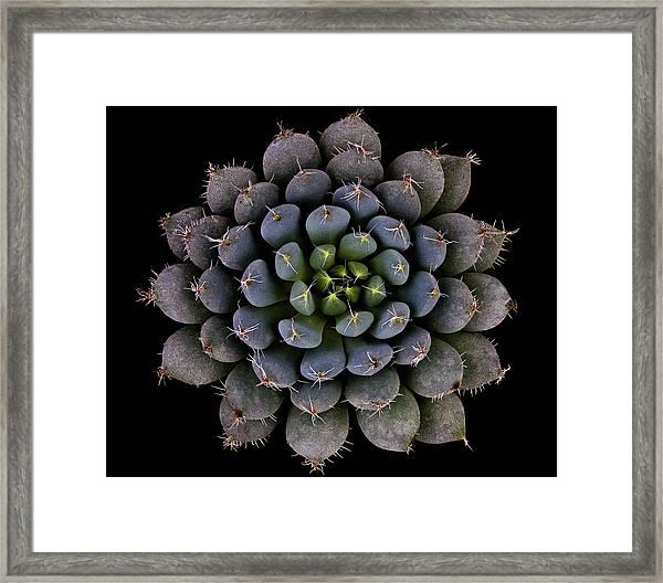 Echeveria Setosa Var. Deminuta Framed Print
