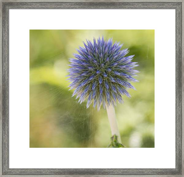 Echinops Blue Framed Print