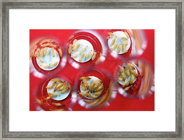 Effect Of Insecticides On Termites Framed Print