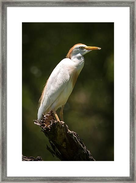 Cattle Egret Perched On Dead Branch Framed Print