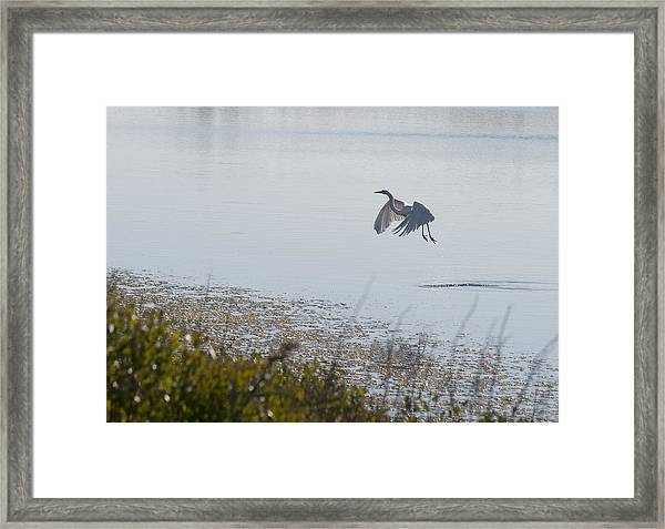 Egret Taking Off Framed Print