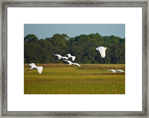 Egrets In Flight On Jekyll Island Framed Print