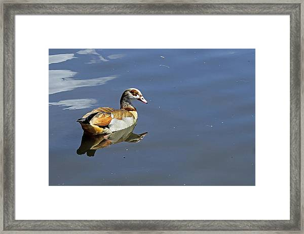 Egyptian Goose Framed Print