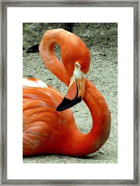 Framed Print featuring the photograph Figure Eight Flamingo by Bob Slitzan