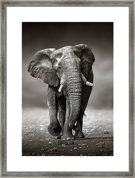 Elephant Approach From The Front Framed Print