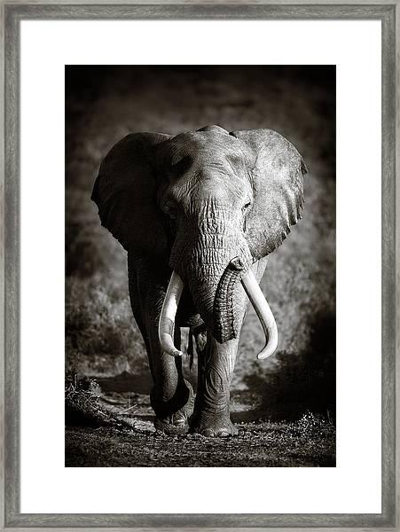 Elephant Bull Framed Print
