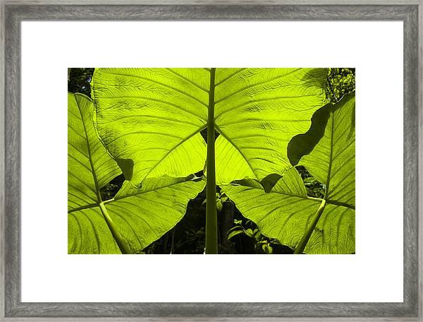 Elephant Ear Leaves In The Rainforest Framed Print