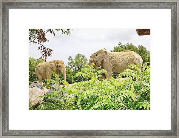 Elephants Thika And Toka At The Toronto Zoo Framed Print